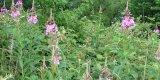 Weidenrösschen