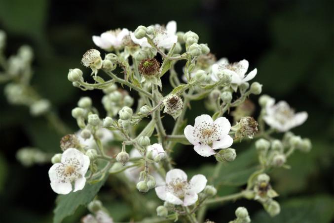 Brombeerblüte